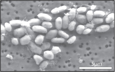 Cute little arsenic guys (pic from NASA)